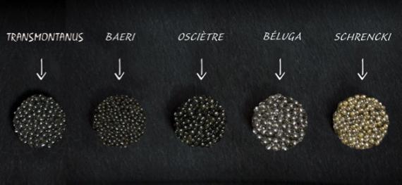 Quelques espèces d'esturgeons, qui sont autant de variétés de caviar. Chaque région de production à ses spécialités.