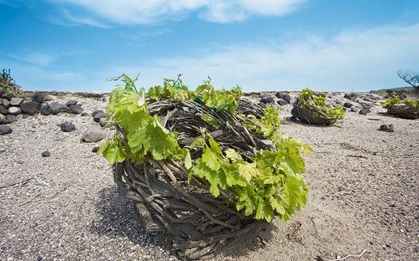 A Santorin, les vignes sont taillées en nid d'oiseau (ou panier) appelé Koulara. Cette méthode est la seule qui permet de protéger les raisins des vents forts, du soleil brulant et du dessèchement.