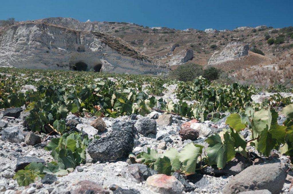 La vigne jouit d'un sous-sol tourmenté constitué du calcaire des cyclades (d'où ce surprenant nez de chardonnay bourguignon). Sans presque aucune matière organique (mais très riche en minéraux), la présence du potassium dote les vins d'un pH bas et de belles acidités. En plus, la présence de sable écarte tout risque de phylloxéra.