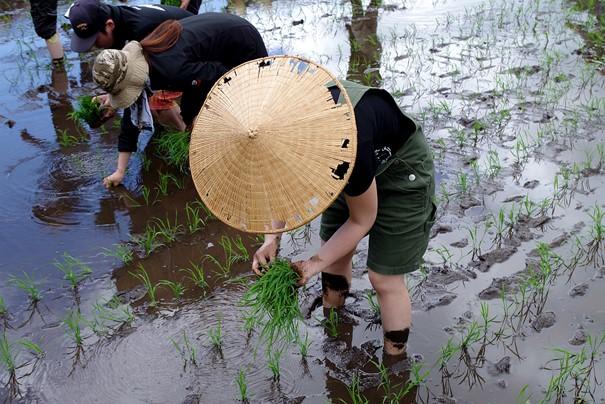 Cette rizière située dans le village d'Hakuba (Alpes japonaises) aux abords de la ville de Nagano (préfecture de Nagano) produit un riz à saké. Ses grains sont plus gros que la normale, riches en amidon et pauvres en protéines. La teneur élevée en amidon facilite la production d'alcool et la faible teneur en protéines empêche les saveurs de se déliter dans la boisson. Par rapport aux variétés destinées à la table, son grain est plus robuste, un point important pour le polissage du grain (plus difficile à broyer notamment). Photo © DR