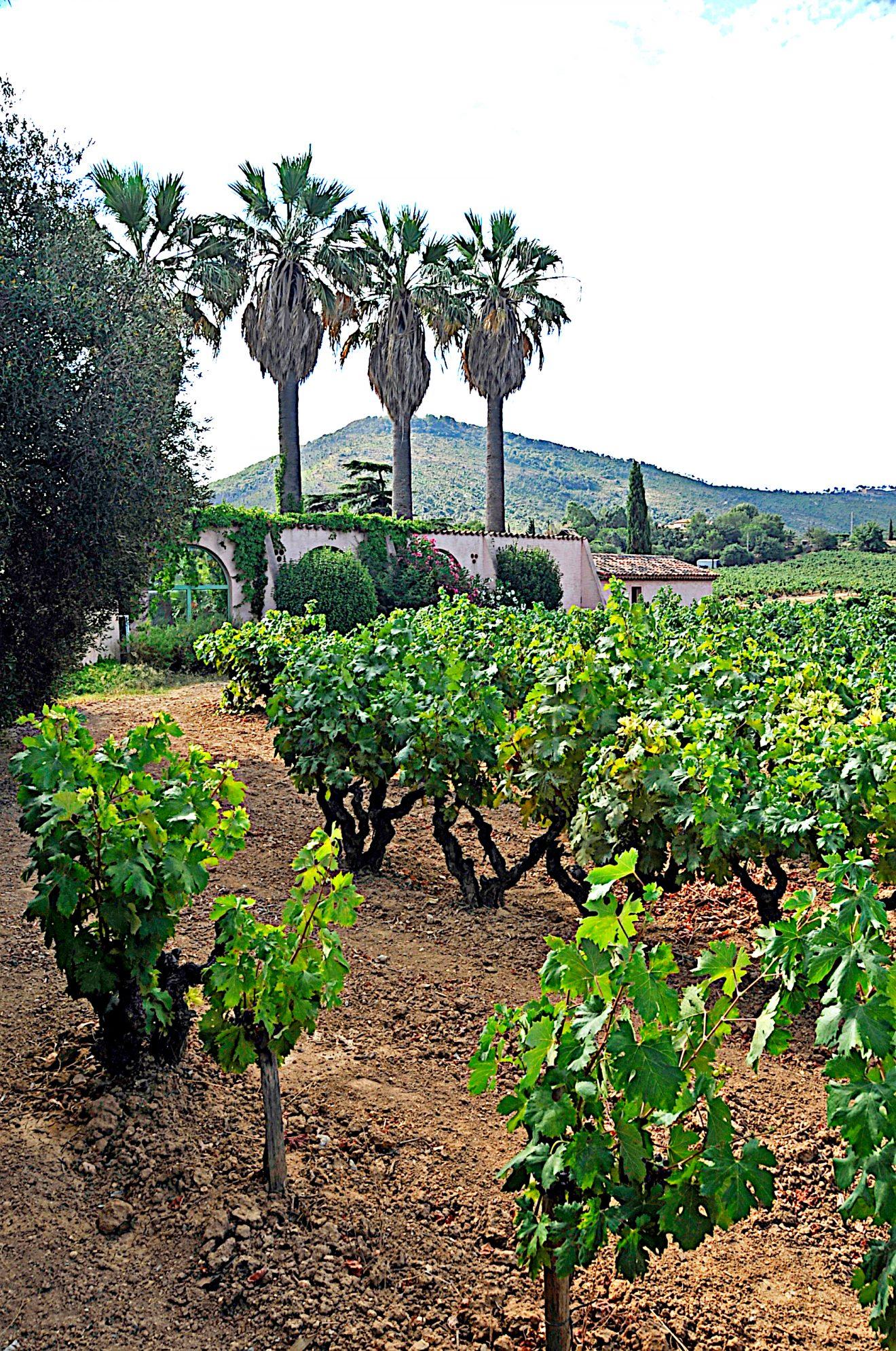 Pieds de vigne tibouren, cépage autochtone provençal. Photo © DR