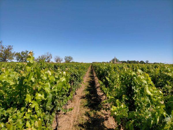Vignes du Château Lamothe-Cissac. Photo © DR